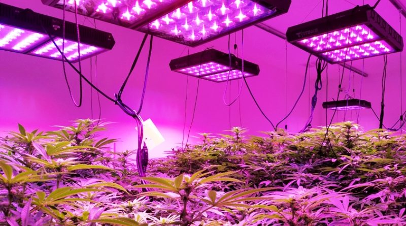 Grow marijuana lights