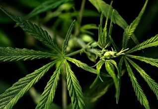Medical Uses of THC