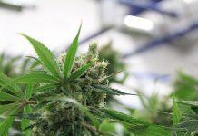 Cannabis Strains